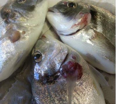 Vaccinate Against Mycobacteriosis in Fish Using Mycobacterium Marinum