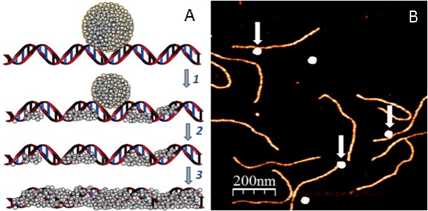 Self-Assembling, conductive DNA molecules which enable easy manufacture of DNA-based circuits and electrical devices