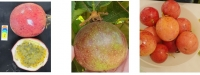New, Extra Large, Attractive Passion-Fruit Cultivar
